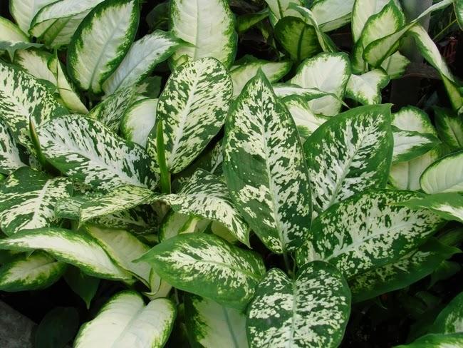 Peces y plantas ornamentales dieffembachia camilla for 2 plantas ornamentales