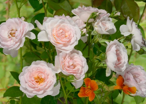 Lovely Meilland rose сорт розы фото