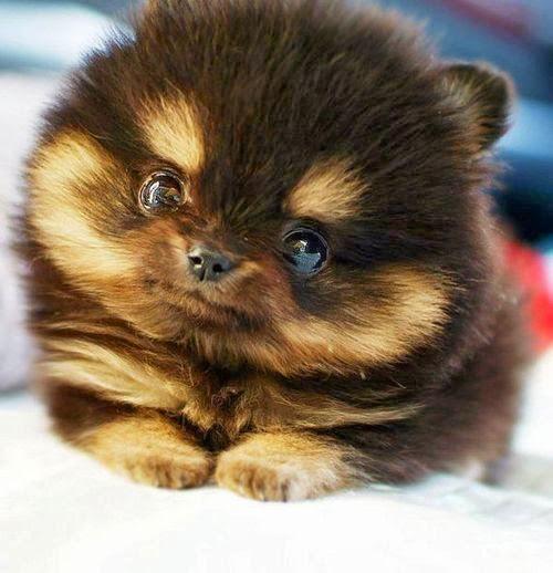 Husky Pug Mix Puppies