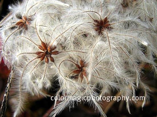 wild clematis seeds-Clematis vitalba