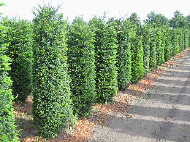 Arte y jardiner a los rboles en el jard n - Setos para vallas ...
