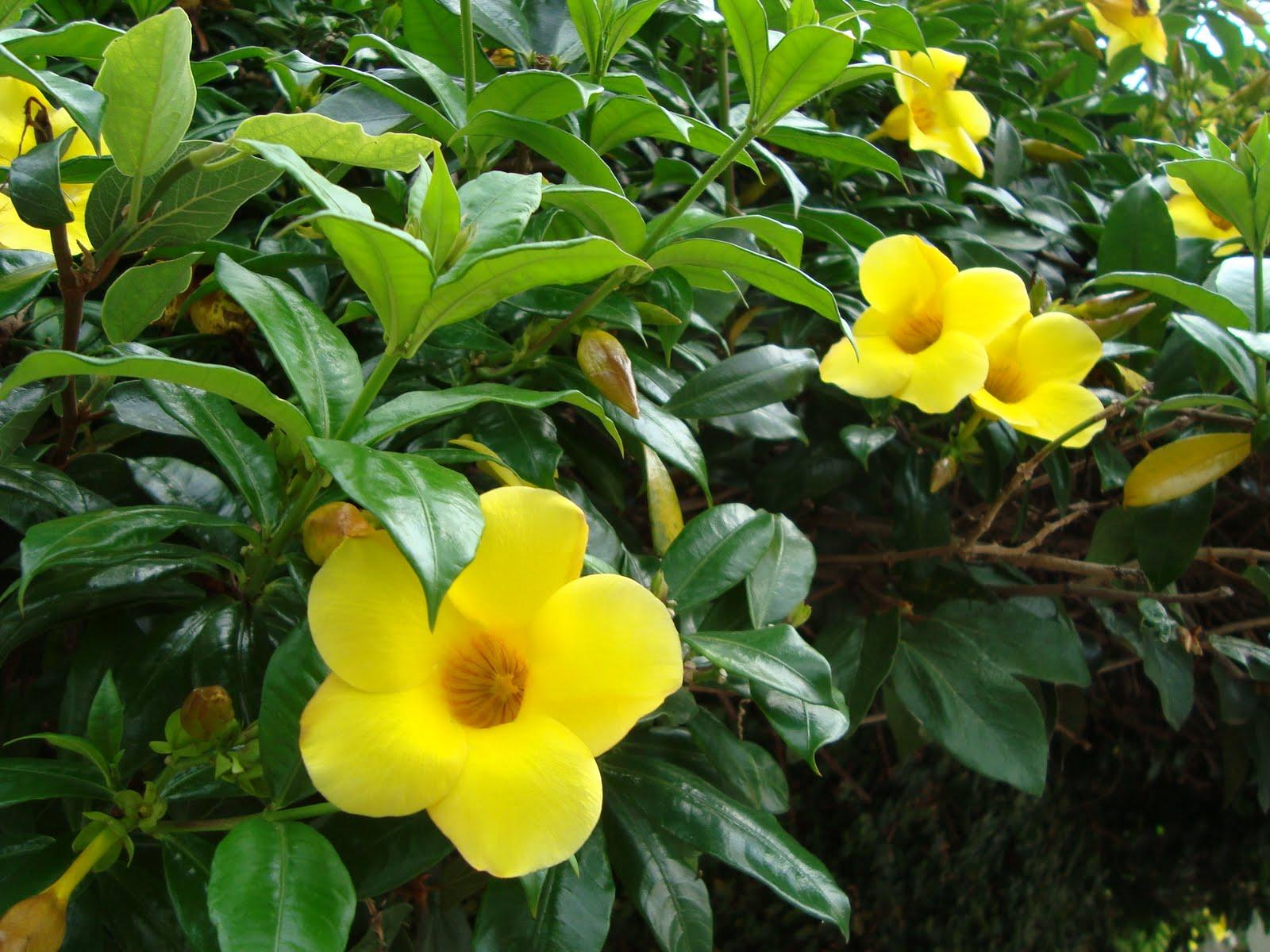 F nix plantas e jardins guia de trepadeiras alamanda for Plantas ornamentales tropicales