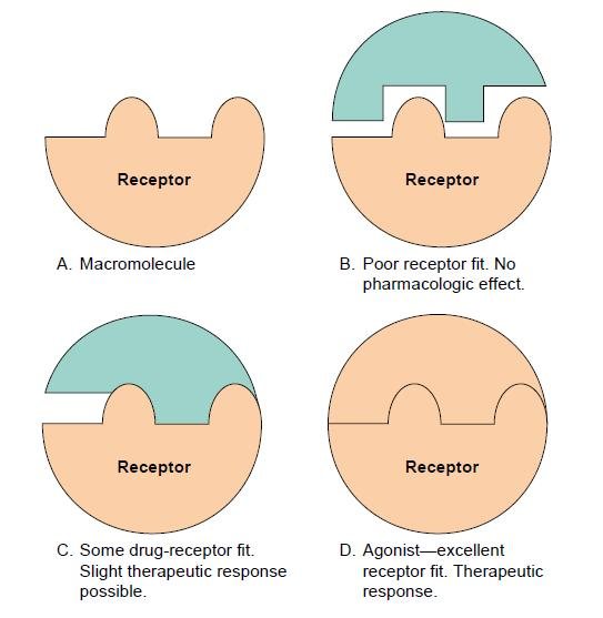 drug receptor interactions review Functional probes of drug–receptor interactions implicated by structural  cys- loop receptors and will be the primary focus of this review.