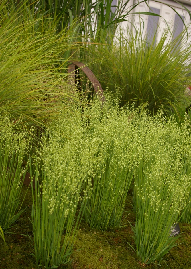 1000 images about front yard on pinterest olive tree for Front yard ornamental grasses