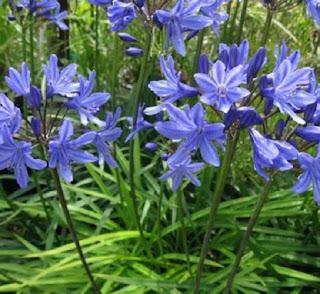 Jardineria, Catalogo de Plantas: Agapanthus campanulatus