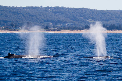 Whales surfacing