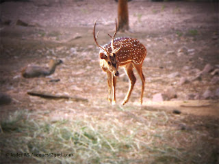 Young Male Chital Deer