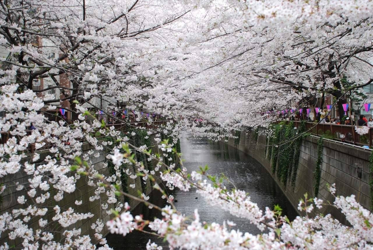 foto-foto-pemandangan-bunga-sakura-jepang-2.jpg