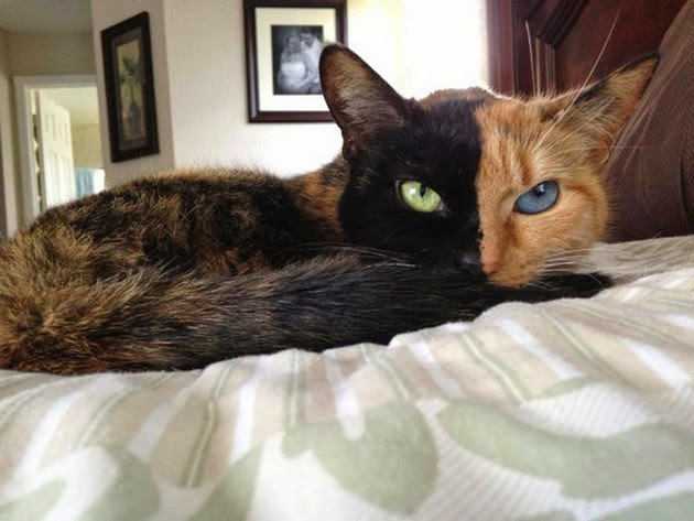 two-coloured-cat-3