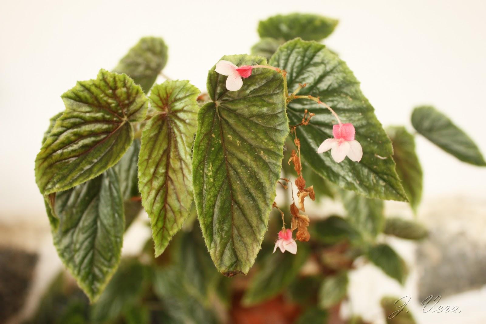 Un jard n en m laga begonia alleryi for Aspiradora de hojas para jardin