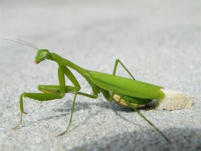 foto belalang - gambar hewan