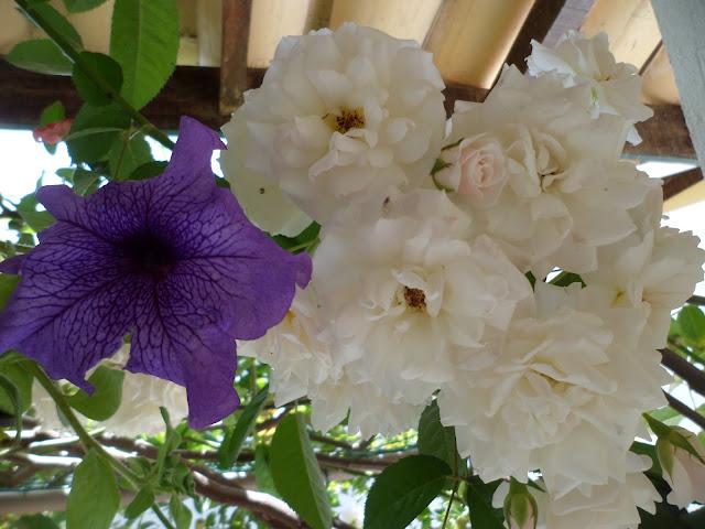 meu jardim - buquê de rosas e petúnias