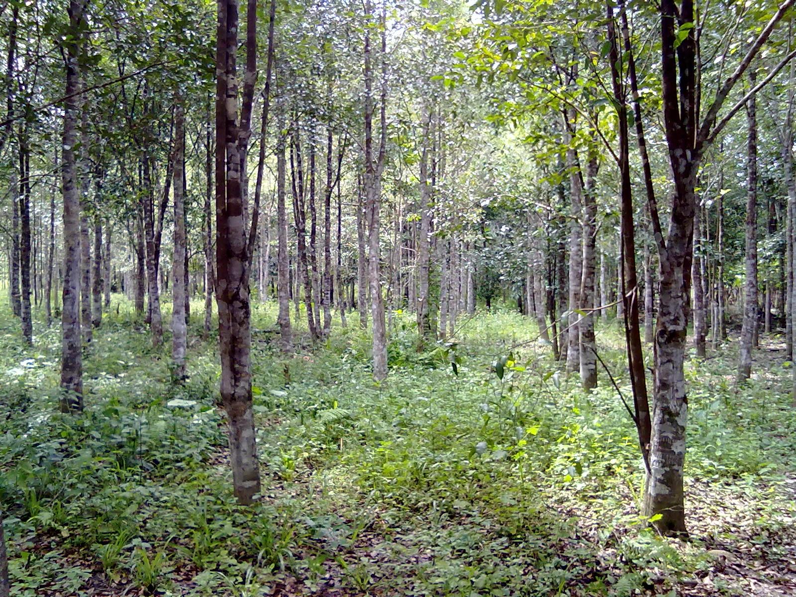 Pokok Gaharu Jual 5000 Pokok Gaharu Jenis