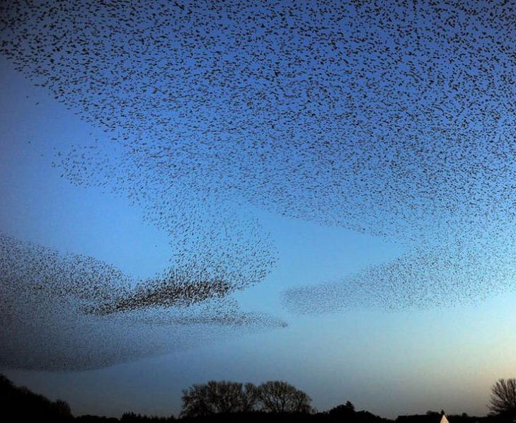 Lukisan hidup unik hasil karya ribuan burung