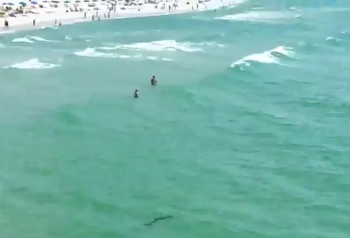 Hammerhead Shark Near Swimmers At The Pensacola Beach Pier In Florida