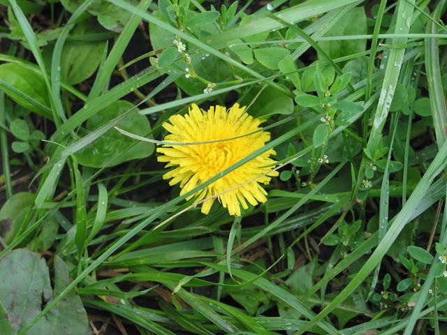 одуванчик в траве