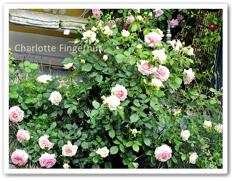 charlotte fingerhut aus dem rosengarten. Black Bedroom Furniture Sets. Home Design Ideas