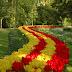 Tulips | Tulips Desktop Wallpapers | Beautiful Roses | Natural Beauty of Tulips | Tulips Garden | Beautiful Sceneries | Tulips paved Path