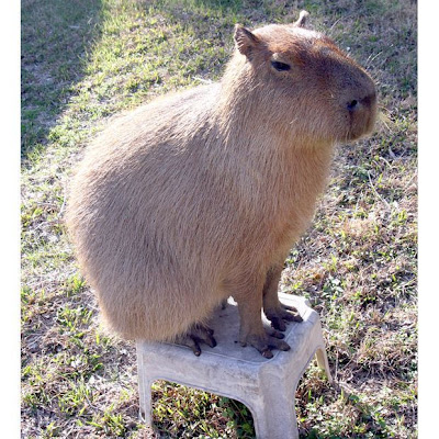 Caplin Rous, World's Most Famous Capybara Seen On www.coolpicturegallery.us