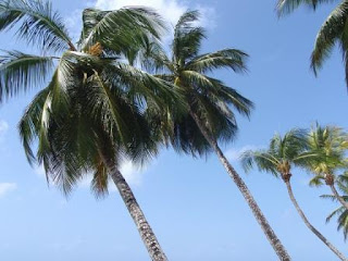 Barbados Palm Tree
