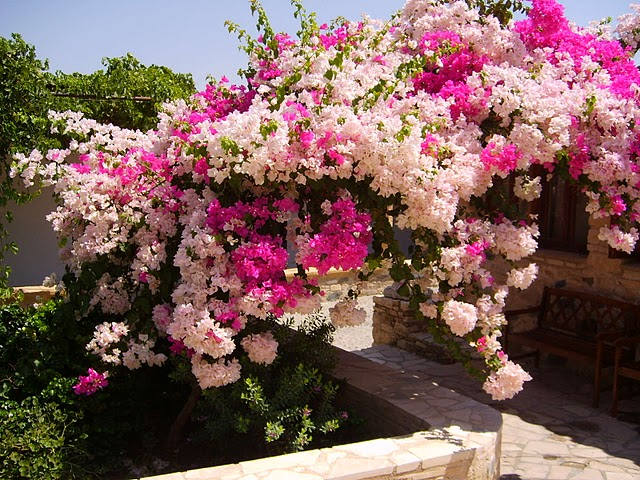 no Brasil, possui várias tonalidades de flores, cresce muito rápido