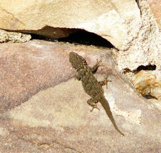 gecko on sandstone