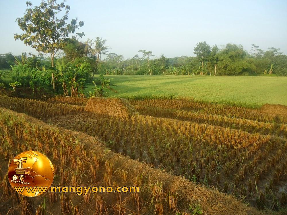 FOTO : Panen padi 7 – Tanaman padi di sawah saya yang sudah selesai dipotong