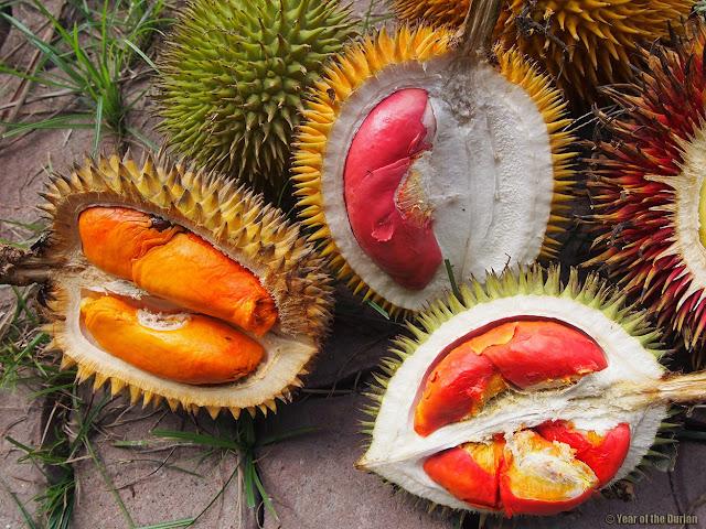 Du lịch Malaysia-Thưởng thức sầu riêng ruột đỏ