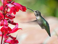Hummingbird_world's_smallest_bird