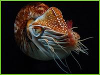 Nautilus Pictures Nautilidae