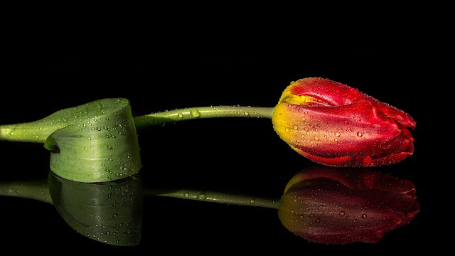 Tulipan con gotas de agua