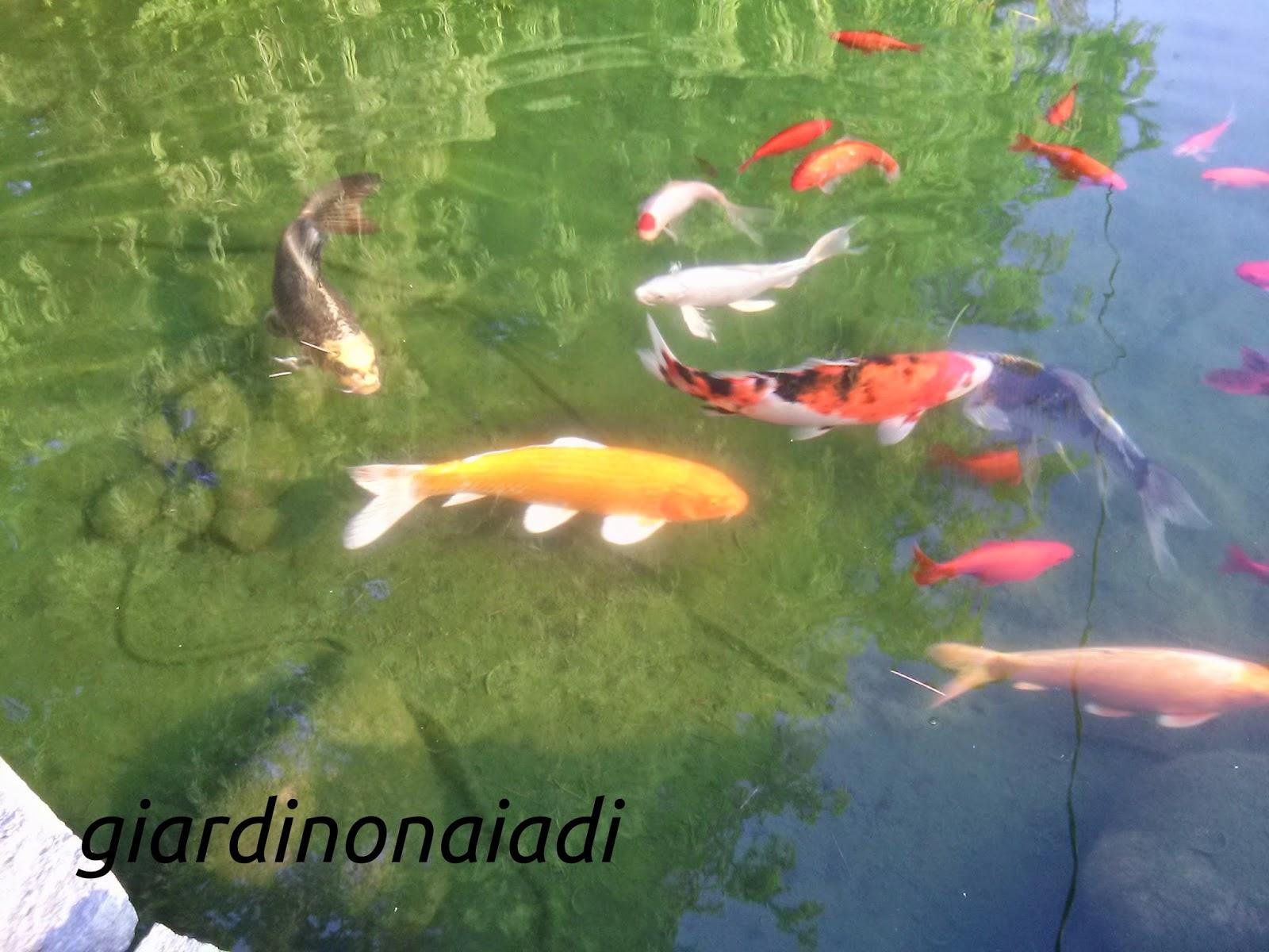 Il giardino delle naiadi carpe koi gli imperatori del for Carpe koi laghetto