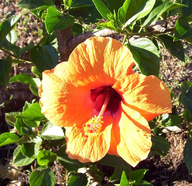 Flor de Hibiscus Sinensis anaranjada