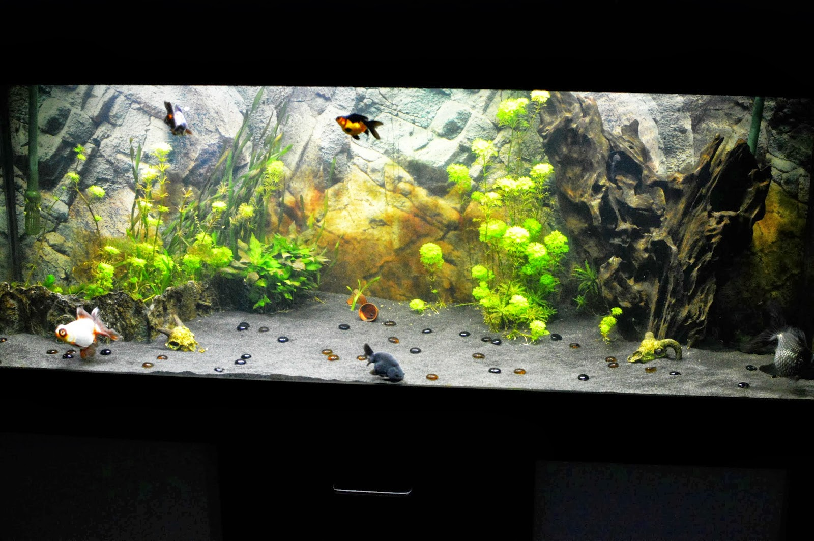 Misuzu 39 s fancy goldfish halloween tank 13 for Fancy fish tanks