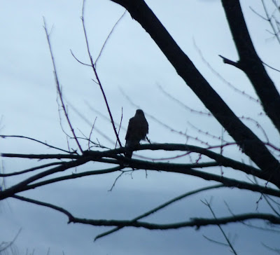 hawk in a tree at dawn