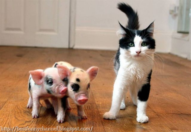 Two small pigs and cat.
