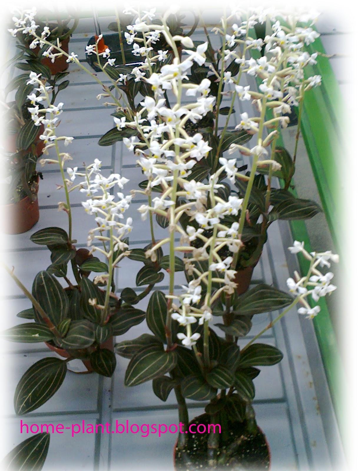 Орхидея лудизия уход 99