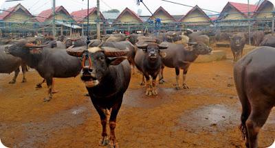 Pasar Hewan Toraja