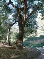 El roure de més de 200 anys de la Font de Bellveí