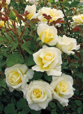 Amai as Rosas