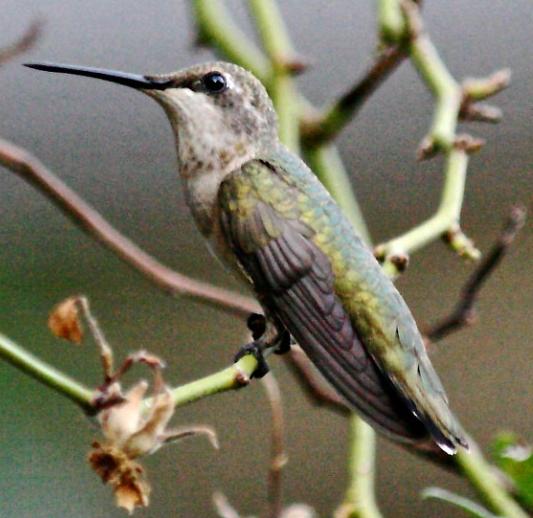 Hummingbird - Preguntas frecuentes