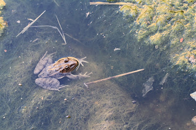 Lithobates berlandieri – Rio Grande Leopard Frog – in a ditch