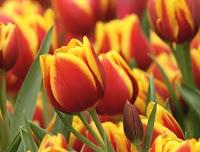 Emozioni fiori e matrimoni dillo con i fiori for Tulipani arancioni