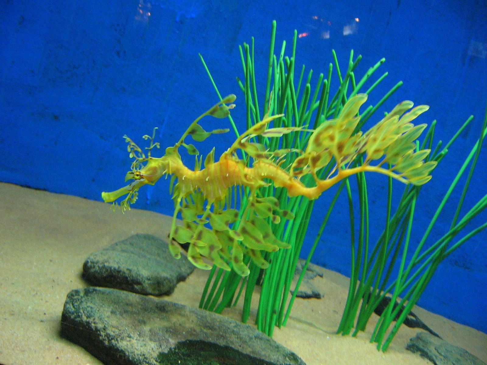 Leafy Sea Dragon Eating