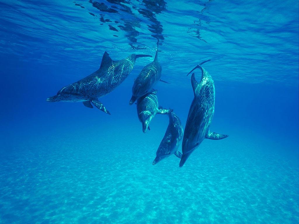 bottlenose dolphin wallpaper dolphins - photo #28