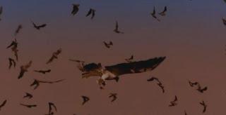 Blog Safari Club, Busardos colirrojos cazando Murcielagos en vuelo