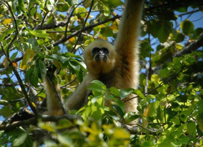 A female buff-cheeked gibbon. Pic Ben Rawson.