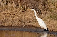 Garceta grande (Casmerodius albus ) Great Egret