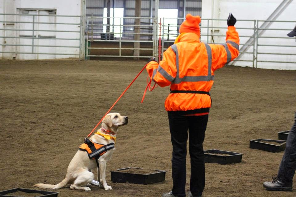 Gucci (yellow Lab) sits while looking at her handler Marilyn in the horse arena during the competition.