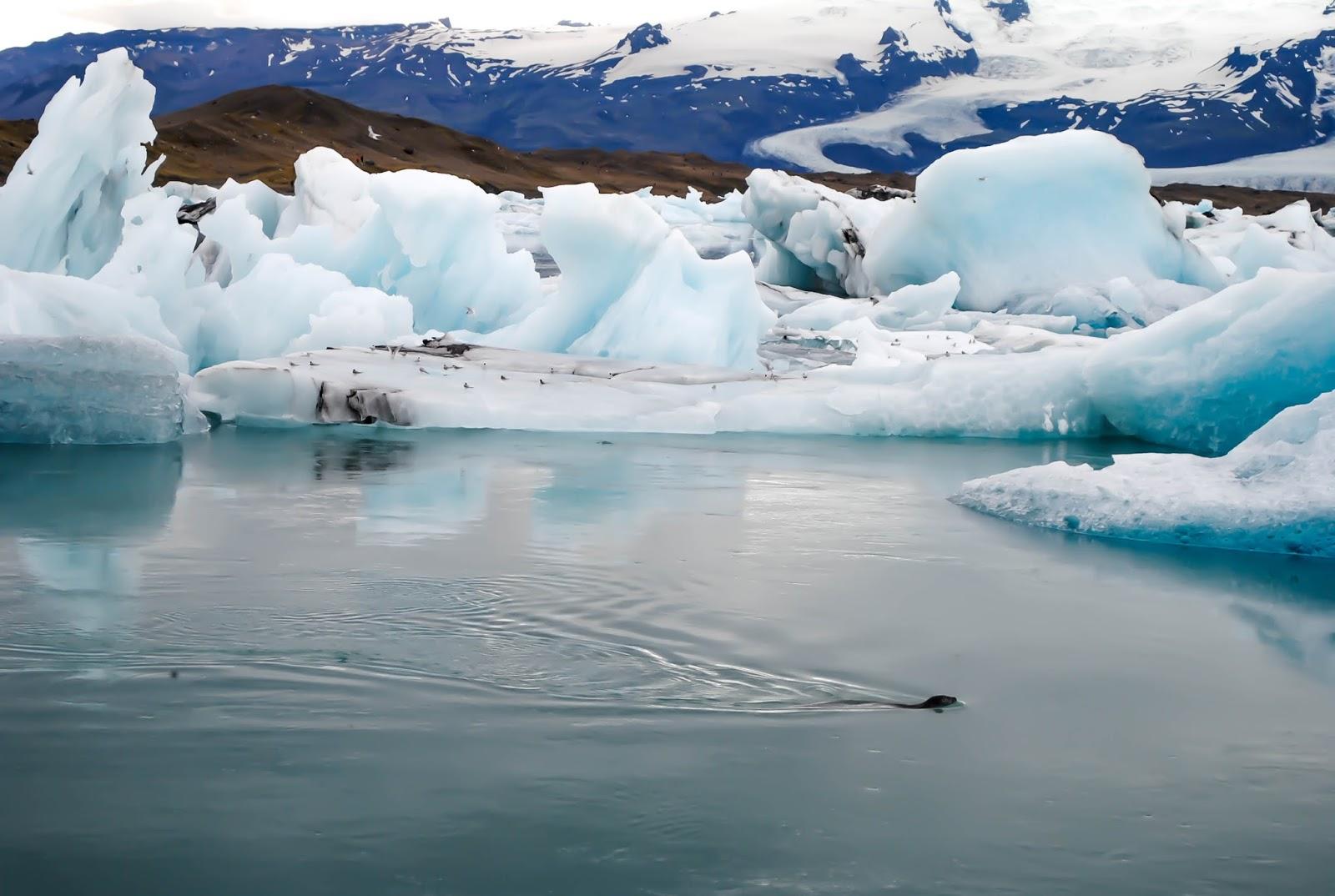Seal swimming among Icebergs in Jökulsárlón Glacier Lagoon in Iceland